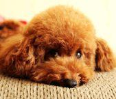 成都泰迪等二十多种宠物狗 500元 起售