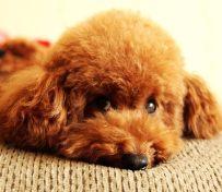 泉州哪里有泰迪犬卖 泉州泰迪