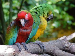 北京亚马逊鹦鹉出售