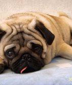 巴哥-武汉名犬