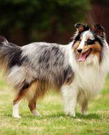 杰克罗素梗犬别称 还有别称叫杰克罗塞尔梗