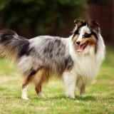 盘点全球8大搜救神犬 拉布拉多猎犬能力领先其它犬类