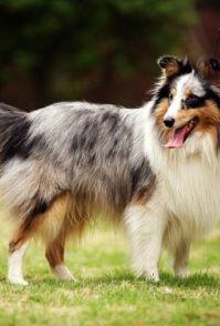 金毛寻回犬寿命 金毛寿命在十二至十五年之间