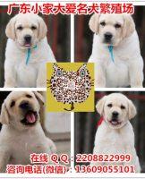 广州卖拉布拉多导盲犬