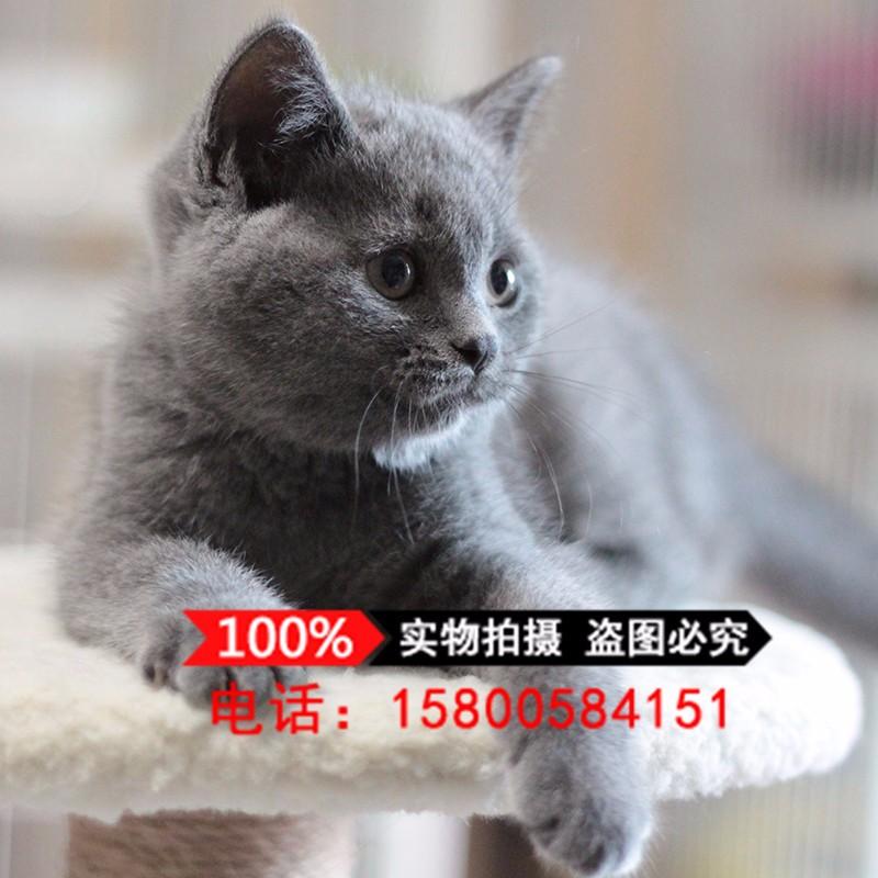 上海猫舍出售英国短猫咪 纯种蓝猫幼猫活体 家养宠物