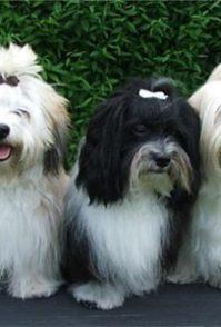 纯种灵缇犬应怎样去养 灵缇犬如何喂养