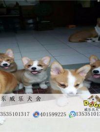 深圳哪里有卖纯种柯基犬?