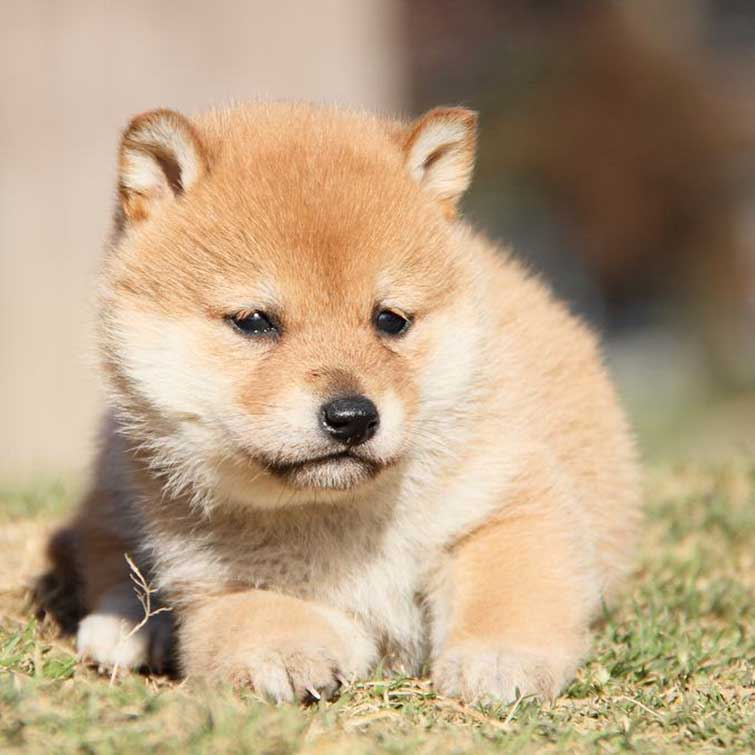 柴犬可爱微信头像