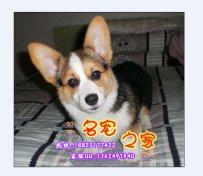 广东大型养狗场出售 顶级柯基