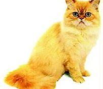 东方猫-大连萌猫