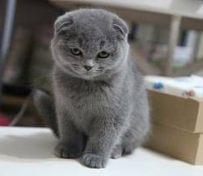 西安苏格兰折耳猫 蓝白折耳