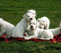 纯种杜高犬出售