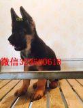 大型犬德国牧羊犬出售 德牧黑背锤系弓背 纯种