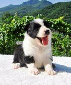 纯种边境牧羊犬 专业繁育 健康品质保障 可签协议