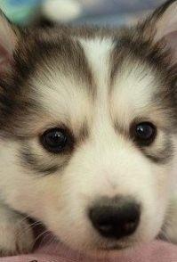 西伯利亚雪橇狗-哈士奇