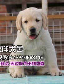广州拉布拉多犬价格_广州拉布拉多犬多少钱一只