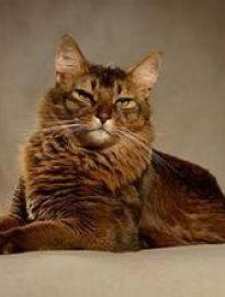 泸州英短蓝猫 渐层 蓝白 美短虎斑 起司 折耳(包纯种健康)