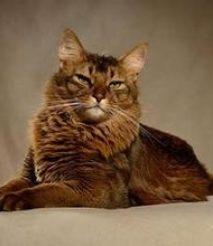怎么才能让猫发情 如何让猫快速发情