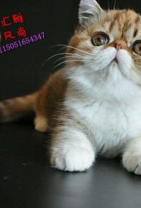 纯种健康加菲猫 包子脸肉粉粉小鼻子水滴大眼加菲猫