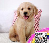 金毛幼犬高端冠军级赛级金毛领