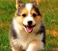 精品柯基犬幼犬售-健康纯种包
