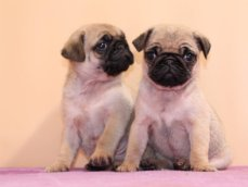 重庆本地出售巴哥幼犬上门700一只 包健康 包纯种 当面挑选