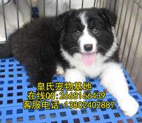 纯种边境牧羊犬幼犬出售 血统