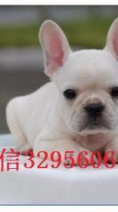 (优惠)小型犬法国斗牛犬出售 奶油法牛纯种健康
