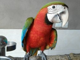 北京金刚鹦鹉出售价格