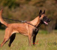 汕头哪里有卖马犬价钱多少汕头