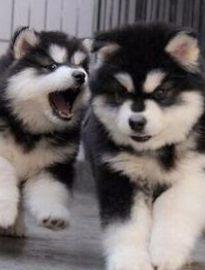 成都犬舍出售精品阿拉斯加幼犬一血统纯正一纯种健康