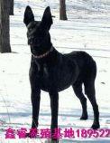 出售黑狼犬幼犬 哪里有卖纯种健康黑狼犬