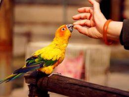 北京金太阳鹦鹉出售