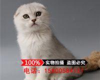 英短蓝猫 宠物猫蓝猫折耳纯种家养蓝猫蓝猫折耳幼猫