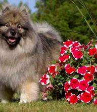 荷兰毛狮犬体型特点 荷兰毛狮犬整个头部呈楔形