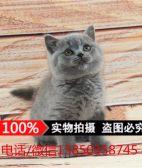 英国短毛猫蓝猫宠物猫纯种活体幼猫英短猫活体 宠物猫