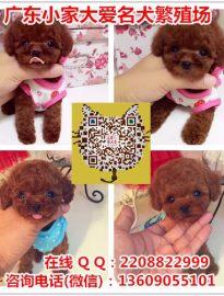 广州哪里有卖泰迪犬 广州泰迪犬价格