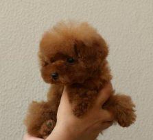 纯种养殖泰迪犬泰迪犬价格哪里有卖泰迪的