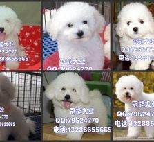 深圳宝安区哪里有卖比熊犬 深圳福田区哪里有卖宠物狗