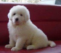 大白熊犬起什么名字 可以起个