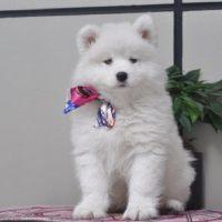 精品萨摩耶犬