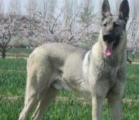 (出售)纯种狼青犬出售 狼青
