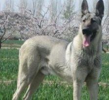 (出售)纯种狼青犬出售 狼青幼犬多少钱一只