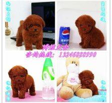 广州泰迪犬舍 纯种泰迪犬 茶杯泰迪幼犬 小体泰迪犬 灰色泰迪