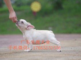 法国斗牛犬 纯种法牛 法斗幼犬