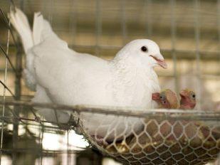 美国白王鸽