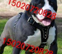 小比特犬的价格图片 纯种比特