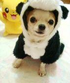 吉娃娃-武汉名犬