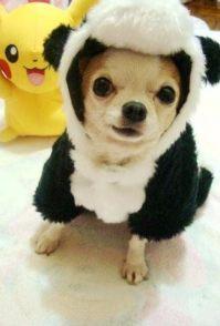 吉娃娃等二十多热销品种宠物狗 500元 起售