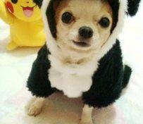 吉娃娃-上海名犬